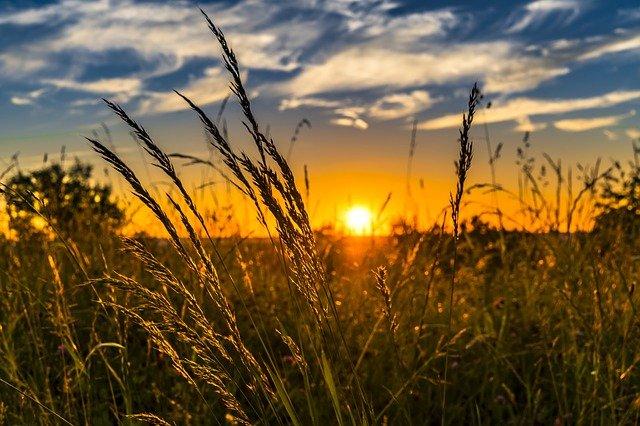 Ein Getreidefeld vor der untergehenden Sonne